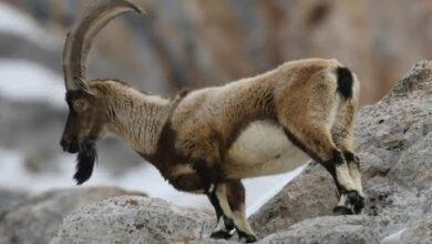 Photo of Camiyi Boş Bırakmayan Dağ Keçisi