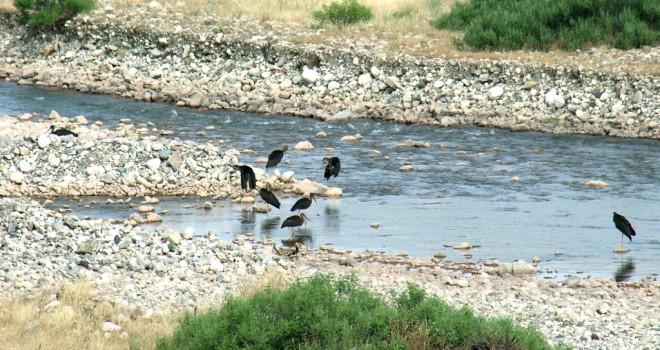 Photo of Gerger'de Bayağı Aynak Kuşu Görüldü