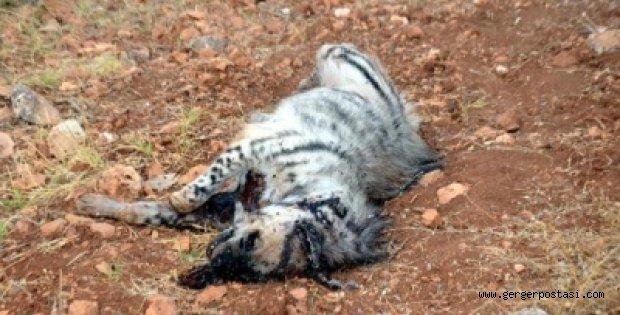 Photo of Adıyaman'da Çizgili Sırtlan Kazada Öldü