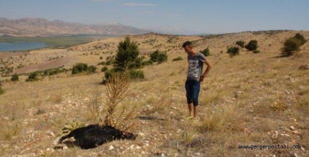 Photo of Adıyaman'da Kurtların Saldırdığı 29 Keçi Telef Oldu