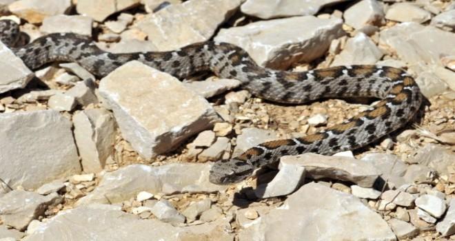 Photo of Nesli Tükenme Tehlikesinde Olan Yılan Türü Nemrut Dağında Görüldü