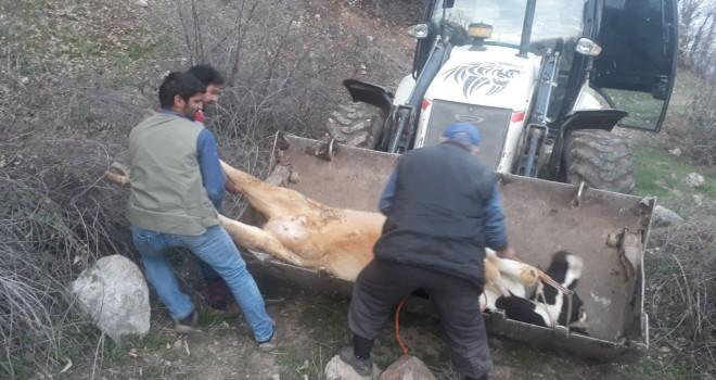 Photo of Gerger'de Dağda Mahsur Kalan İnek Kepçeyle Kurtarıldı