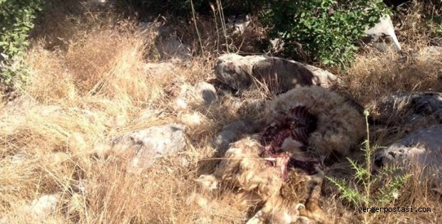Photo of Kurtlar Köye İndi 26 Hayvanı Telef Etti